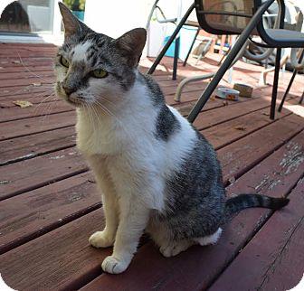 Domestic Shorthair Cat for adoption in Glen Mills, Pennsylvania - Marly