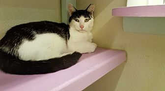 Domestic Shorthair Cat for adoption in Westbury, New York - Princess IV