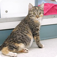 American Shorthair Kitten for adoption in Stamford, Connecticut - Mrs. P