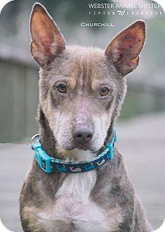 Pembroke Welsh Corgi Mix Dog for adoption in Webster, Texas - Churchill