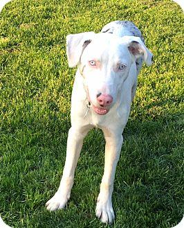 Cattle Dog/Australian Shepherd Mix Dog for adoption in Post Falls, Idaho - Theo - Deaf