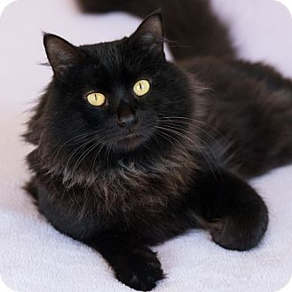 Domestic Mediumhair Cat for adoption in Houston, Texas - Webber