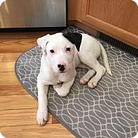 Adopt A Pet :: Marshmallow - Lakeville, MN