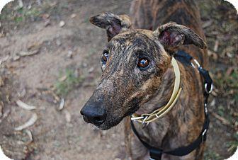 Greyhound Dog for adoption in Tucson, Arizona - Basco