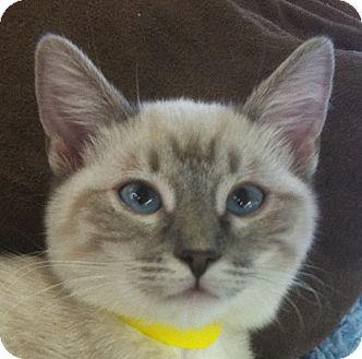Siamese Cat for adoption in Winchester, California - Sushi