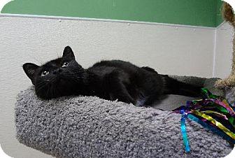 Domestic Shorthair Cat for adoption in Pekin, Illinois - Odessa - $25 Adoption Fee