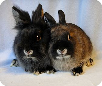 Lionhead Mix for adoption in Los Angeles, California - Fronde & Fern