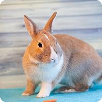 Adopt A Pet :: SuperBun - Los Angeles, CA