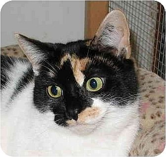 Calico Cat for adoption in Cincinnati, Ohio - Becca
