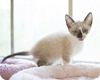 Domestic Shorthair Kitten for adoption in Houston, Texas - Kitten 8