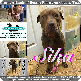 American Pit Bull Terrier Mix Dog for adoption in Hearne, Texas - Sika