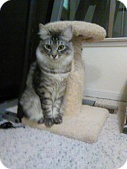 Domestic Mediumhair Kitten for adoption in Redwood City, California - Aspen