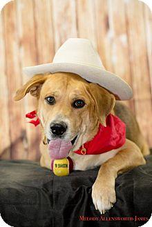 German Shepherd Dog/Labrador Retriever Mix Dog for adoption in Little Rock, Arkansas - Maverick