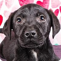 Adopt A Pet :: Shandy - Cincinnati, OH