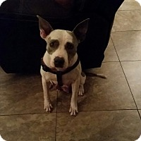 Adopt A Pet :: Anna - New Port Richey, FL