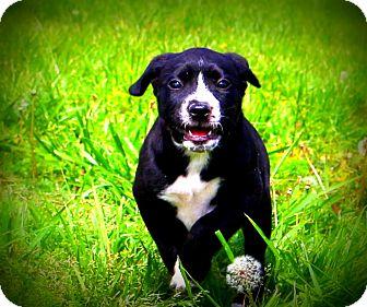 Boxer/Labrador Retriever Mix Puppy for adoption in Glastonbury, Connecticut - Baby Daisy
