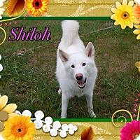 Adopt A Pet :: Shiloh - Buffalo, IN