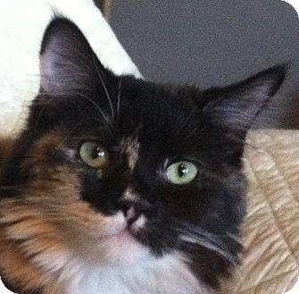 Domestic Longhair Kitten for adoption in Winchester, California - Calico Group
