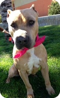 Shar Pei/American Staffordshire Terrier Mix Dog for adoption in Scottsdale, Arizona - Honey