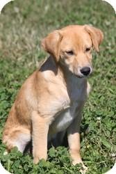Labrador Retriever Mix Puppy for adoption in Russellville, Kentucky - Sallie Mae