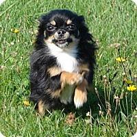 Adopt A Pet :: The/Les  ChihuahuaS - Berthierville / Sorel, QC