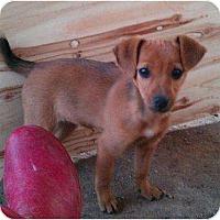 Adopt A Pet :: Beanie - Glastonbury, CT