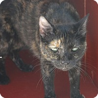 American Shorthair Cat for adoption in New Iberia, Louisiana - Marbles