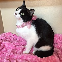 Domestic Shorthair Cat for adoption in Houston, Texas - Katie