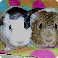 Adopt A Pet :: Nisa - Steger, IL