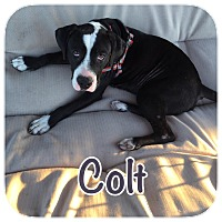 Adopt A Pet :: Colt - Ravenna, TX