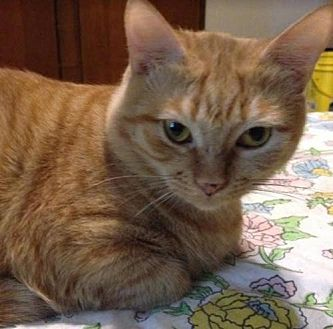 Domestic Shorthair Cat for adoption in Raleigh, North Carolina - Chenille K