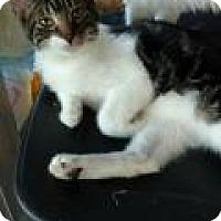 Domestic Shorthair Kitten for adoption in Shelbyville, Kentucky - Andrew