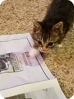 Domestic Shorthair Kitten for adoption in Huntley, Illinois - Bumble