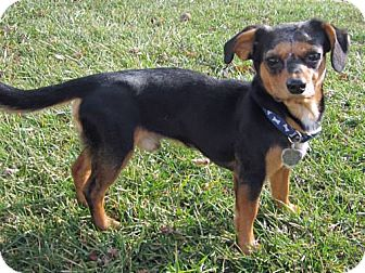 Dachshund/Chihuahua Mix Dog for adoption in Essex, Maryland - Felipe