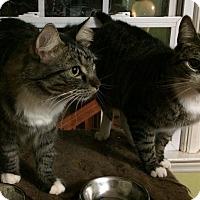 Adopt A Pet :: Moonpie - Morganton, NC