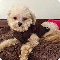Adopt A Pet :: Tiny Jimi - Encino, CA