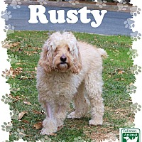 Cockapoo Mix Dog for adoption in Fallston, Maryland - Rusty