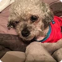 Adopt A Pet :: Nono - New York, NY