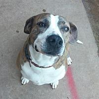 Adopt A Pet :: Daisy - Norman, OK