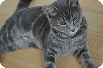 Domestic Shorthair Kitten for adoption in Speonk, New York - Cece