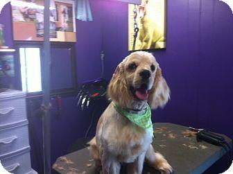 Cocker Spaniel Mix Dog for adoption in Surrey, British Columbia - Brodie-Deaf-Pending