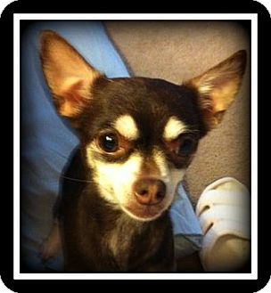Chihuahua Mix Dog for adoption in Indian Trail, North Carolina - Lucy
