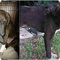 Adopt A Pet :: Zoey - Kingwood, TX