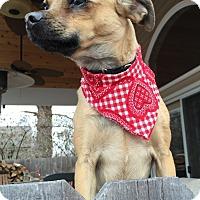 Adopt A Pet :: Laverne-Adoption pending - Bridgeton, MO
