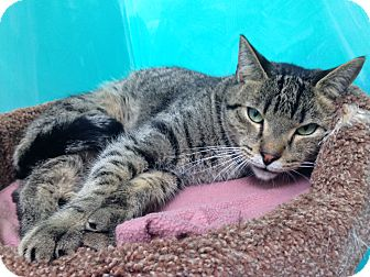Domestic Shorthair Cat for adoption in Newport Beach, California - Baby