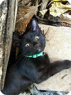 Domestic Shorthair Cat for adoption in oklahoma city, Oklahoma - Cruze
