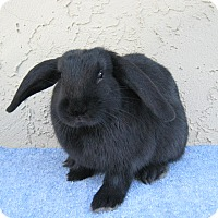 Adopt A Pet :: Midnight - Bonita, CA