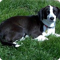 Adopt A Pet :: Audrey 2016 (m/c) - Chesterfield, MI