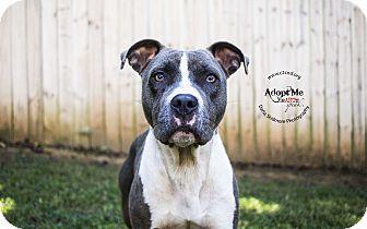 Pit Bull Terrier Mix Dog for adoption in Charlotte, North Carolina - Zara