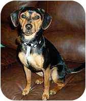 Miniature Pinscher/Beagle Mix Dog for adoption in Florissant, Missouri - BeBe